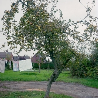 Apple Tree Arminghall 2019